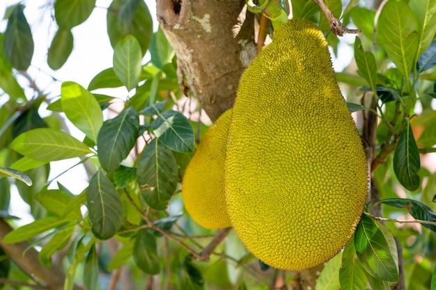 Jack-frucht auf baum im garten der biologischen landwirtschaft