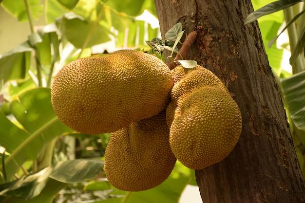Jack-frucht auf baum