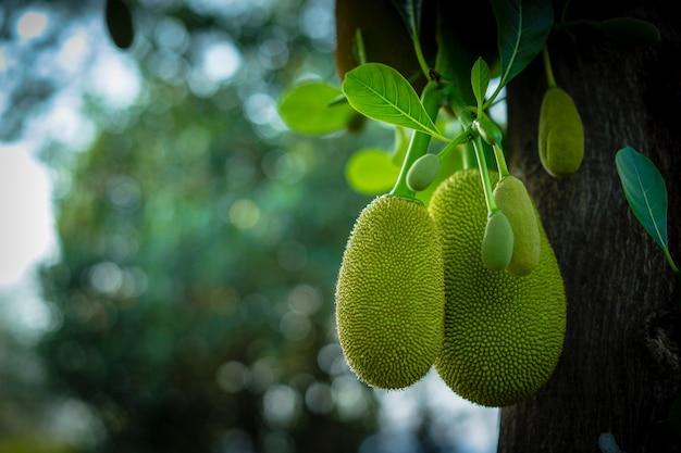 Jack-früchte, die an den bäumen in einem garten hängen