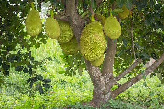 Jack-früchte, die in den bäumen in einem garten der tropischen früchte hängen
