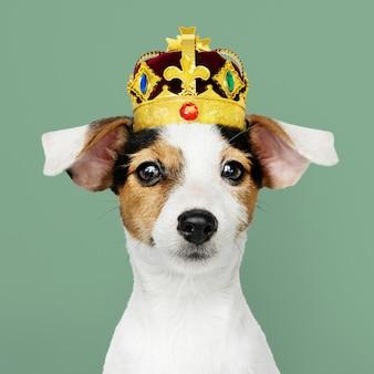 Jack russel trägt eine krone