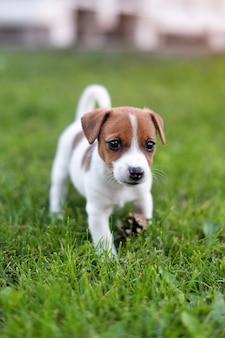 Jack russell hund auf graswiese. kleiner welpe geht im park im sommer spazieren