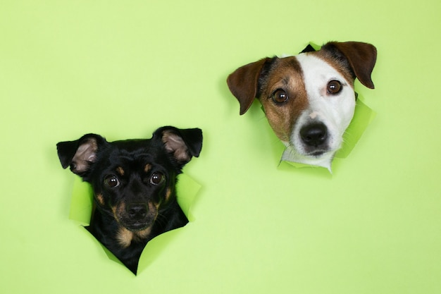 Jack russell hund und ein kleiner schwarzer hund auf grünem hintergrund. die maulkörbe von zwei hunden tauchen vor einem farbigen hintergrund aus dem bau auf.