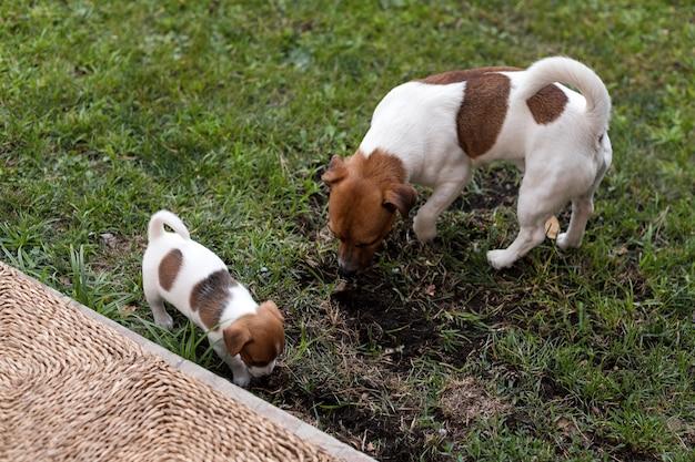 Jack russell hunde spielen auf graswiese. welpe und erwachsener hund draußen im park, sommer.