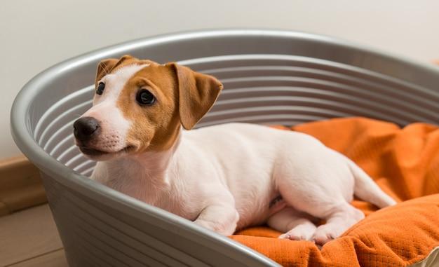 Jack russell terrier, der auf hundebett liegt