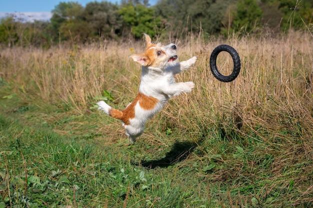 Jack-russell-terrier, der hinter einem schwarzen gummiring auf dem gras springt