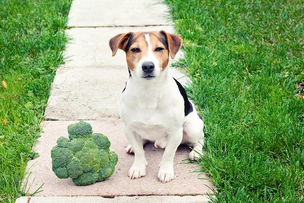 Jack russell terrier dog, der mit dem brokkoli im freien sitzt