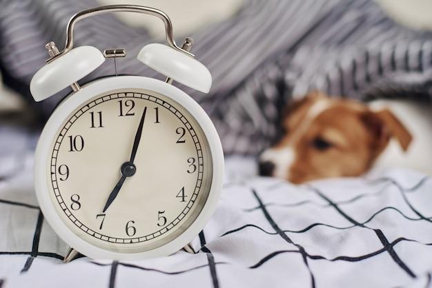 Jack russell terrier hund auf dem bett mit wecker