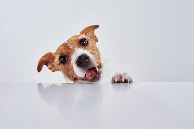 Jack russell terrier hund essen mahlzeit von einem tisch. lustiges hundeporträt auf weiß
