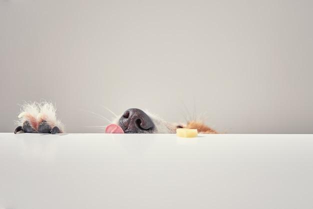 Jack russell terrier hund essen mahlzeit von einem tisch. lustiges hundeporträt mit zunge
