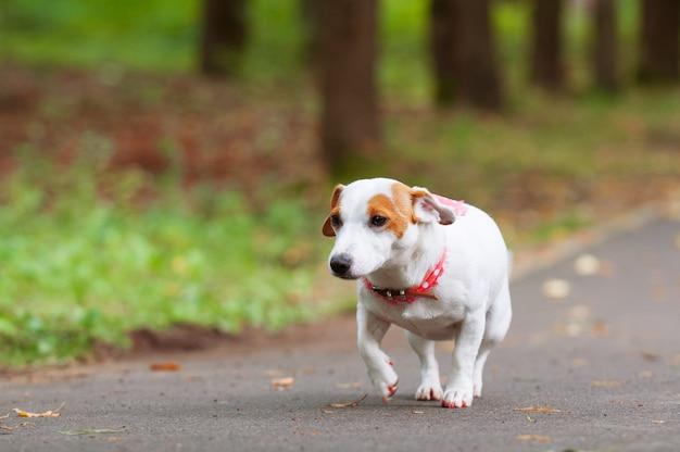 Jack russell terrier hund geht im park spazieren