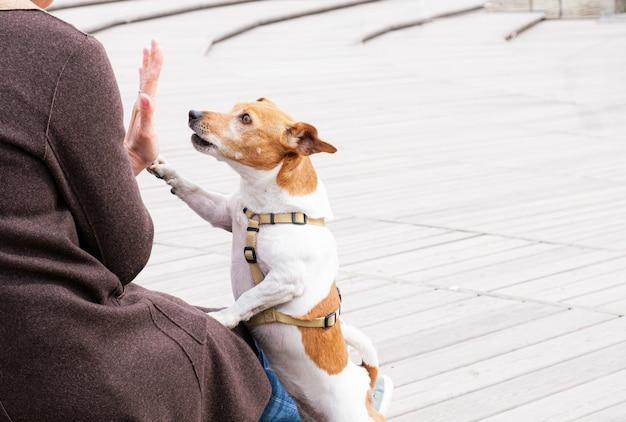 Jack russell terrier hund gibt seinem besitzer high five, während er im park spazieren geht