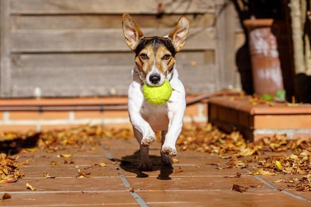 Jack russell terrier hund läuft in richtung kamera mit einem tennisball im mund. beweglichkeitsspiele mit dem haustier. spielen.