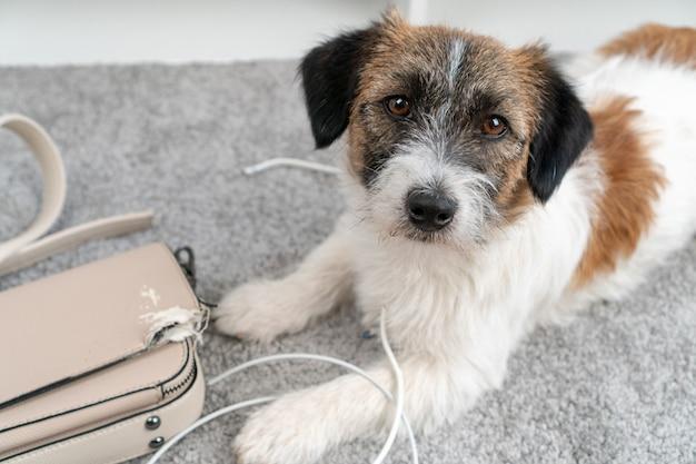 Jack russell terrier hund machte ein chaos zu hause, allein gelassen, kaute an seiner tasche, telefonkabel. ohne den besitzer. schuldiges lustiges gesicht. schlechtes hundeverhalten. beschädigung. genagtes, gekautes zeug.