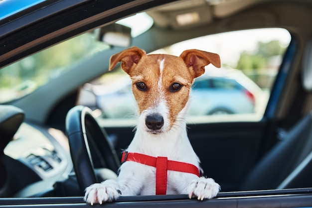 Jack russell terrier hund sitzt im auto auf fahrersitz. ausflug mit einem hund