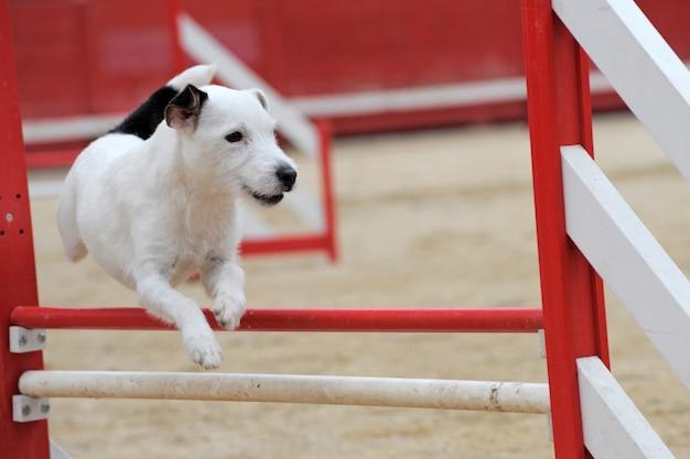 Jack russell terrier im agility-wettbewerb