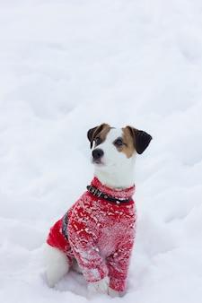 Jack russell terrier in einem roten pullover sitzt im schnee. jack russell terrier posiert, nahaufnahme. reinrassiger jack russell terrier-hund für weg am wintertag. glücklicher hund sitzt im park. hund lächelnd