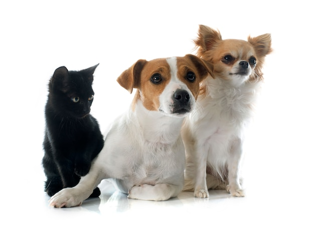 Jack russell terrier kätzchen und chihuahua