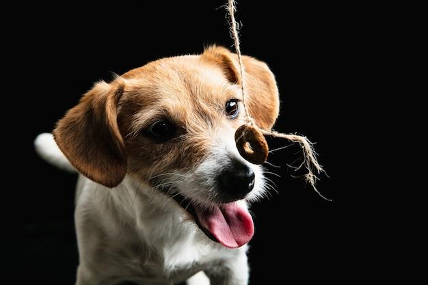 Jack russell terrier kleiner hund posiert. nettes verspieltes hündchen oder haustier, das auf schwarzem studiohintergrund spielt.