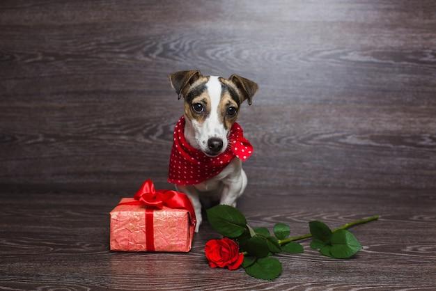 Jack russell terrier mit festlicher geschenkbox.