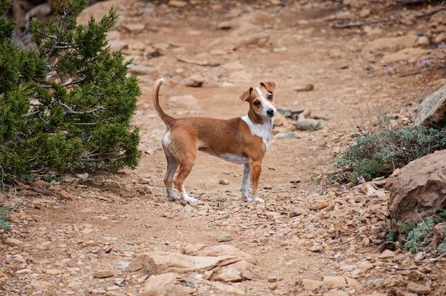 Jack russell terrier sieht süß aus. der hund geht in der wüste spazieren