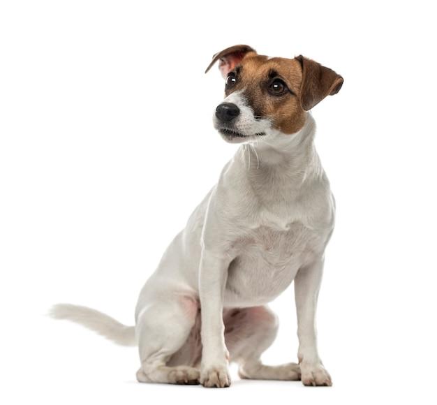 Jack russell terrier sitzt und schaut isoliert auf weiß weg