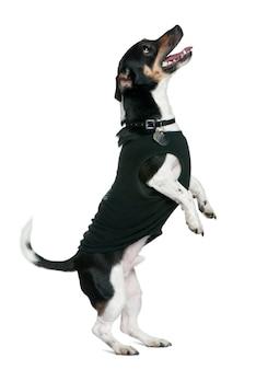 Jack russell terrier steht auf hinterbeinen und schaut auf, zweieinhalb jahre alt. hundeporträt isoliert