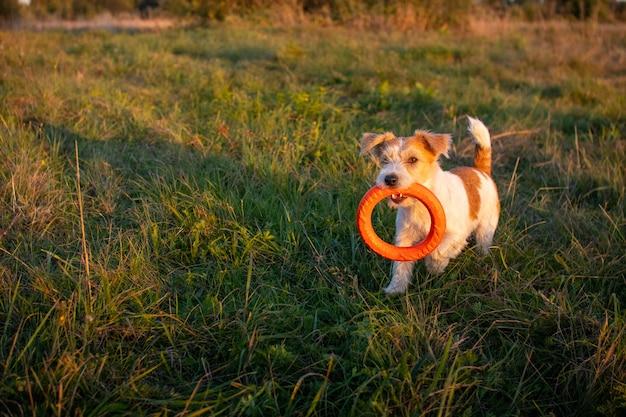 Jack russell terrier trägt einen orangefarbenen spielzeugring zwischen den zähnen