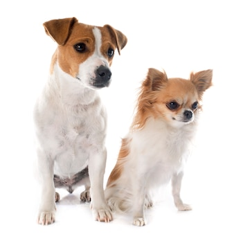 Jack russell terrier und chihuahua