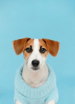 Jack russell terrier-welpe, der auf dem bretterboden auf blauem wandporträt sitzt.
