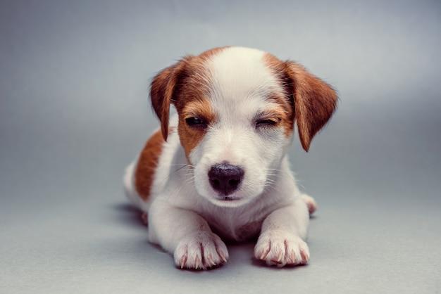 Jack russell terrier-welpe, der sich hinlegt