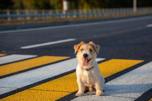 Jack russell terrier welpe läuft allein auf einem fußgängerüberweg über die straße