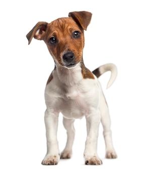 Jack russell terrier welpe steht auf