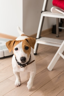 Jack russell terrier zu hause