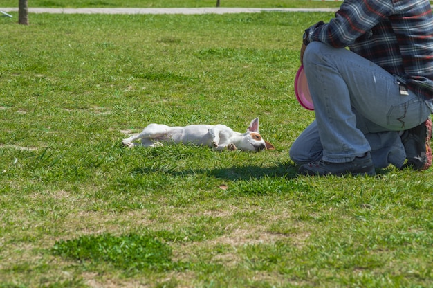 Jack russell terrier züchten welpe mit seinem trainer im park