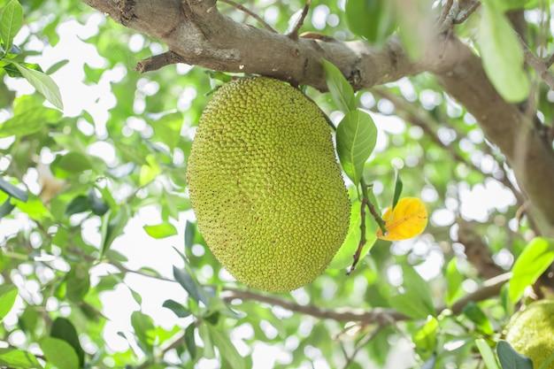 Jackfrucht auf dem baum mit grünen blättern verwischen hintergrund, baby grüner jackfrucht.