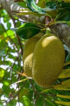 Jackfruit auf jack tree im tropischen wald im yanoda park, sanya city. hainan-insel, china. jack tree ist eine baumart aus der familie der feigen-, maulbeer- und brotfruchtgewächse (moraceae).