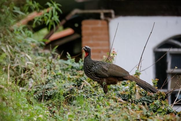 Jacu penelope ist eine gattung craciformer vögel, die fünfzehn arten enthält