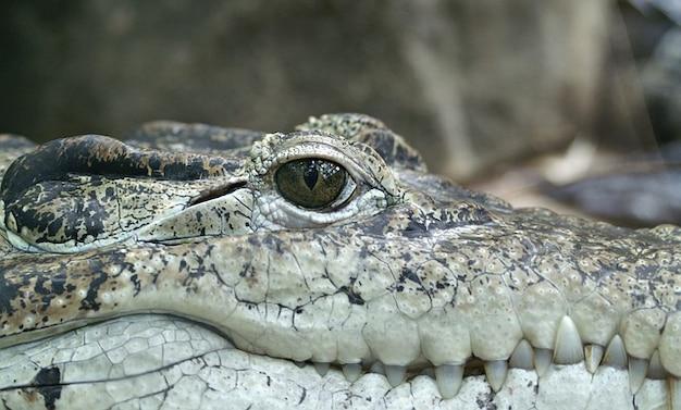 Jäger alligator auge reptil krokodile