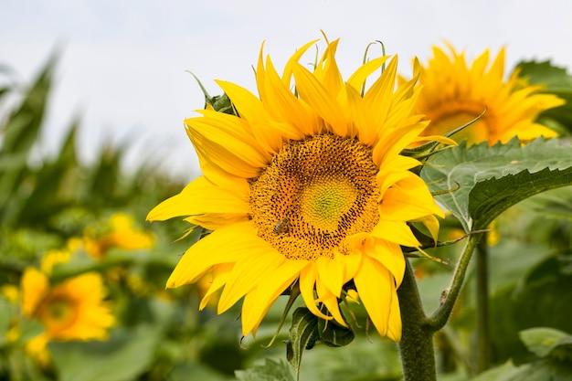 Jährliche sonnenblume mit gelben blütenblättern auf einem landwirtschaftlichen feld, nahaufnahme von sonnigen blumen