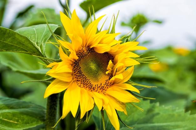 Jährliche sonnenblume mit gelben blütenblättern auf einem landwirtschaftlichen feld
