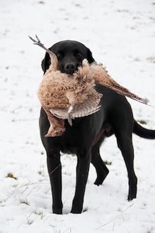 Jagdhund mit einem fasan in seinem mund