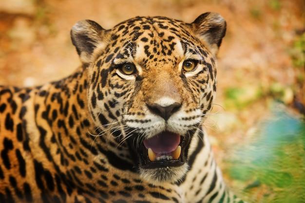 Jaguar der erwachsenen frau, der auf dem felsen untersucht die kamera sitzt
