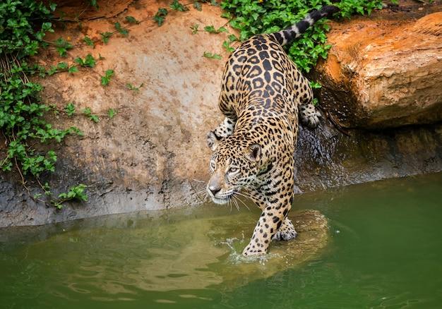 Jaguar, leben am rande des wassers.