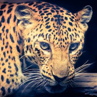 Jaguar - retro- weinlesefiltereffekt