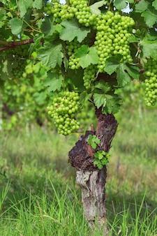 Jahre alte rebe, weinberg, sortenreine trauben in der piemont-region nahe alba, italien. grüne trauben für wein angebaut.