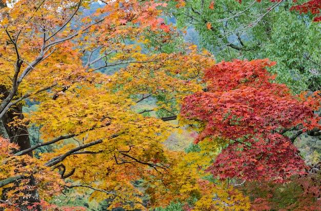 Japanische herbstfarbblätter von ahornbäumen
