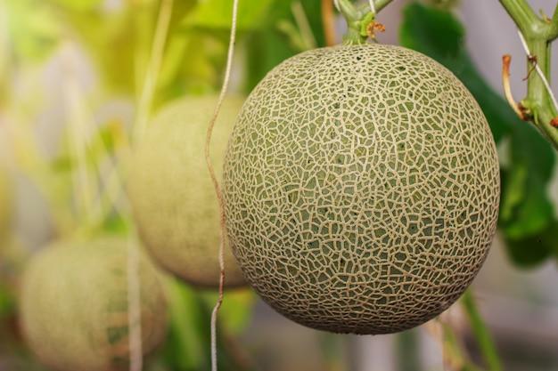 Japanische kantalupenmelonenfarm