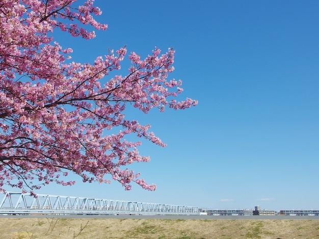 Japanische kirschblüte, voller blühender rosa kirschblütenbaum und blauer himmel auf frühlingsjahreszeit.