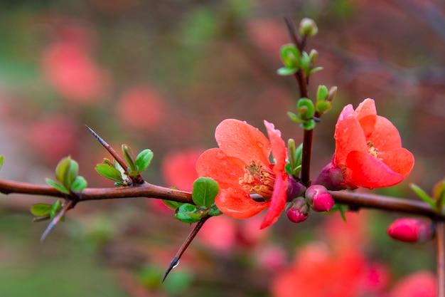 Japanische quitte chaenomeles japonica blüht. rote blumen auf dem zweig eines busches unter den wassertröpfchen. frühling, die geburt des lebens.